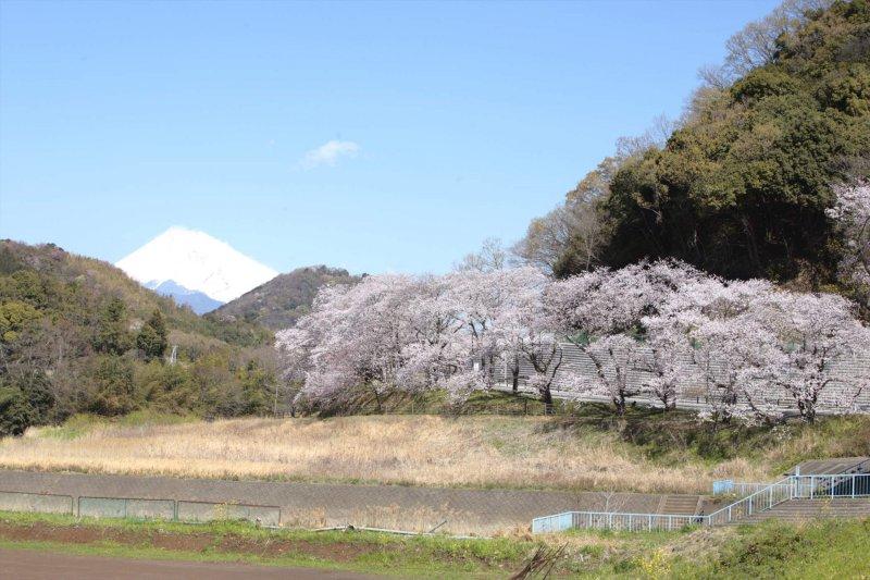 狩野川桜公園