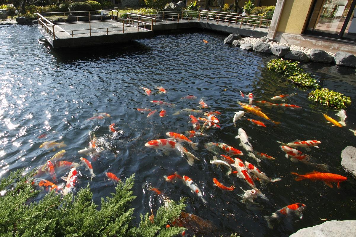 水庭の宝石 錦鯉